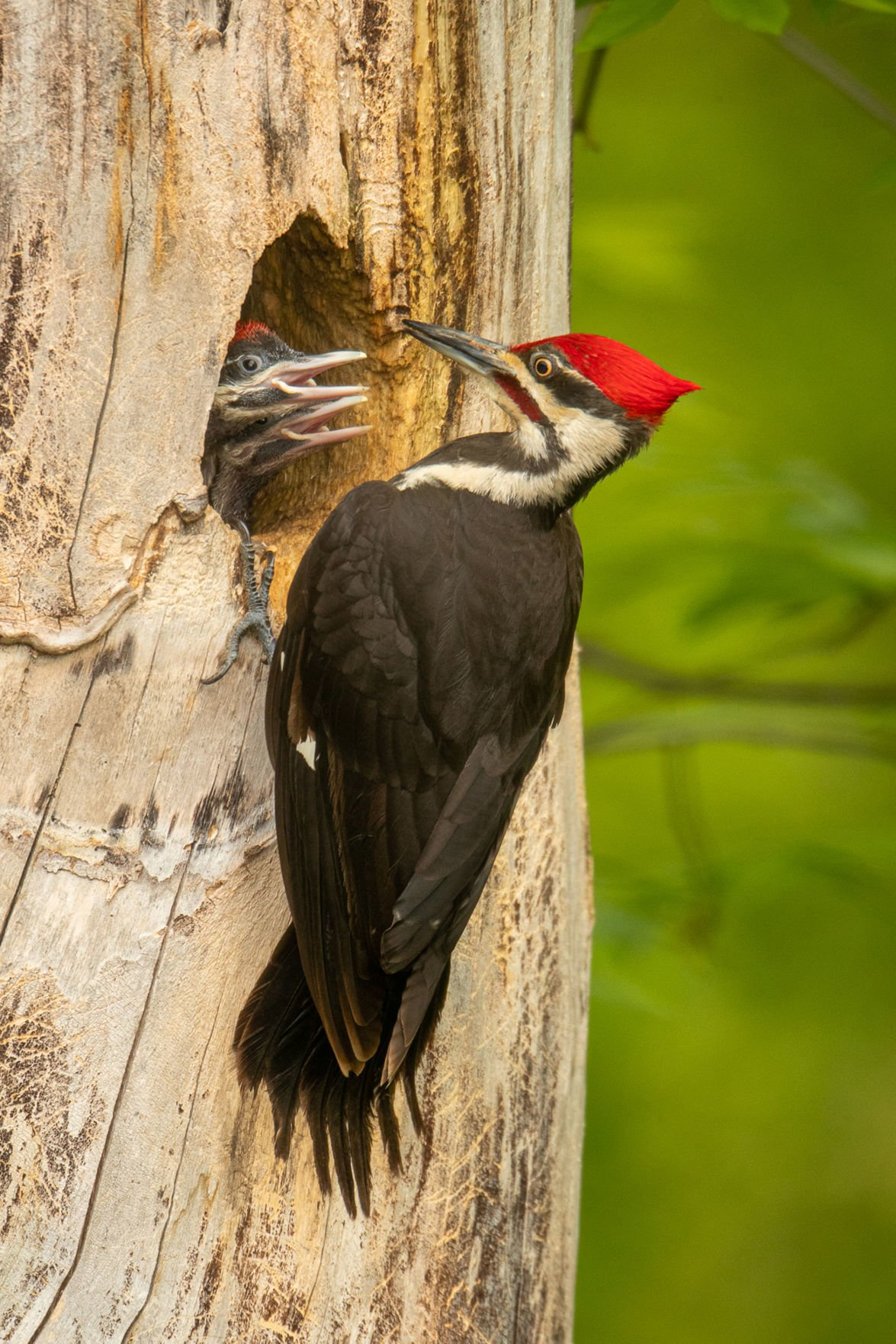 Pileated Woodpeckers Defend Large Territories Chanhassen