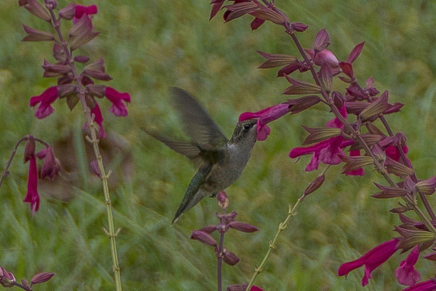 Henderson Hummingbird Garden
