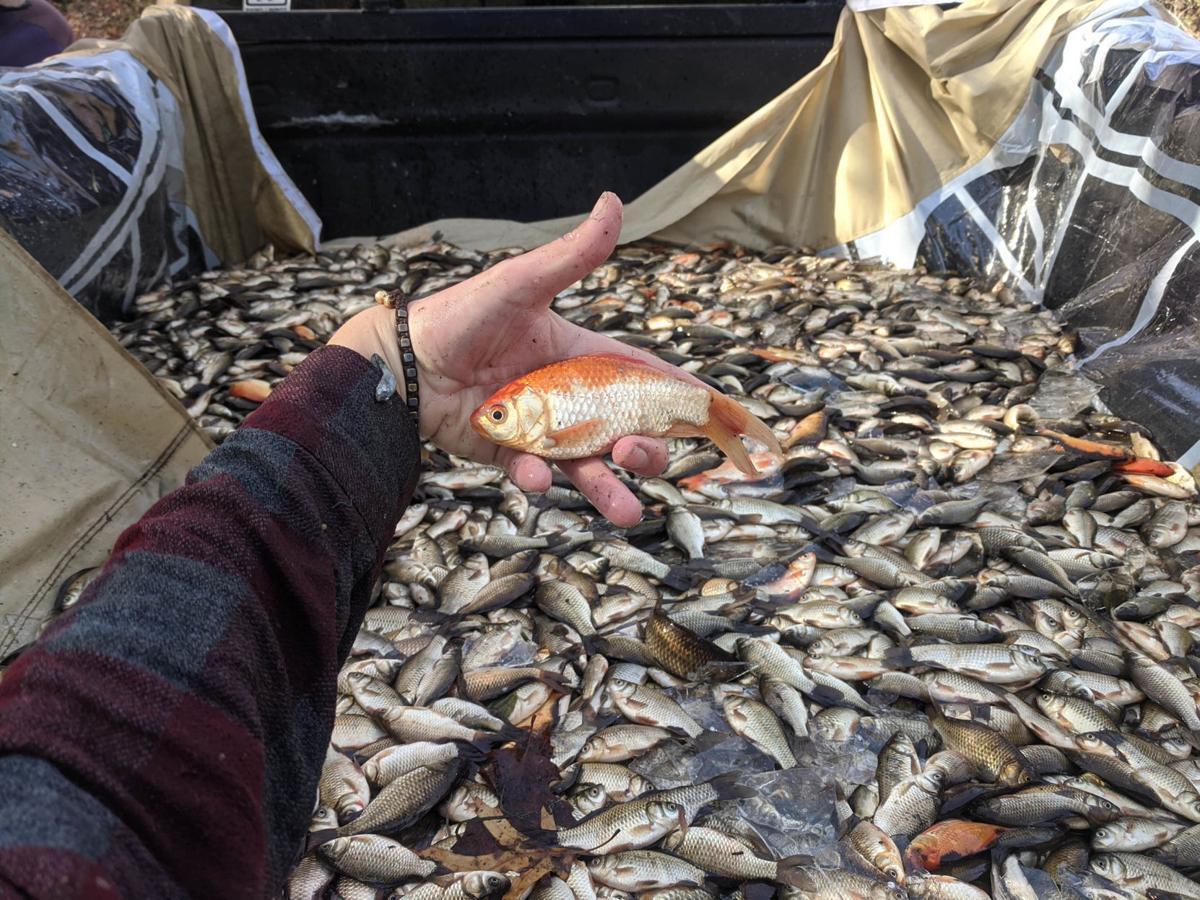 Hauling goldfish away