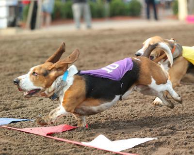 Bassett hound races