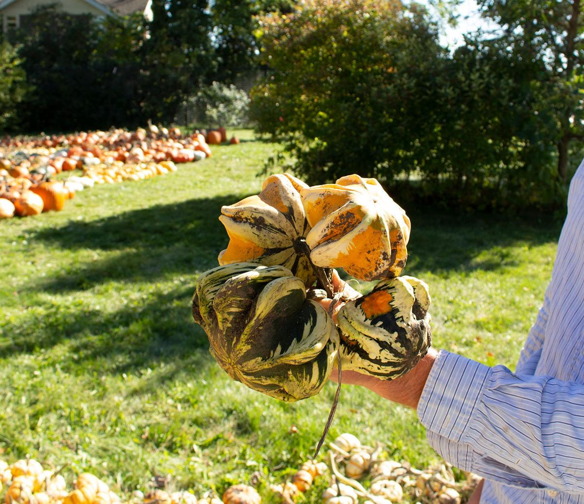 Daisy gourds at the Arb