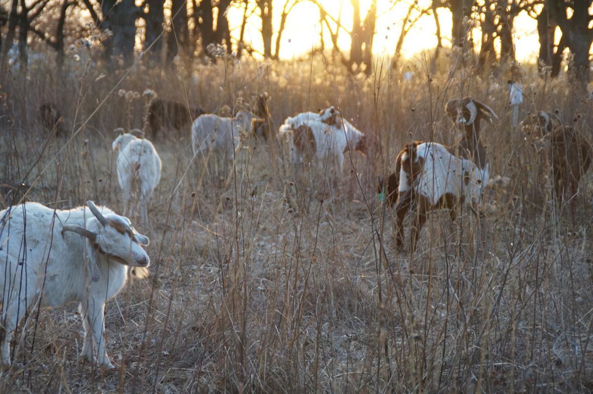 Shakopee goats