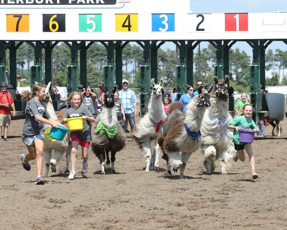 Llamas racing
