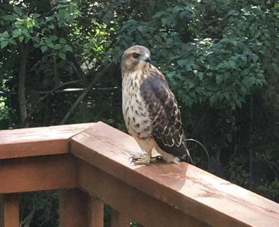 Hawk on deck