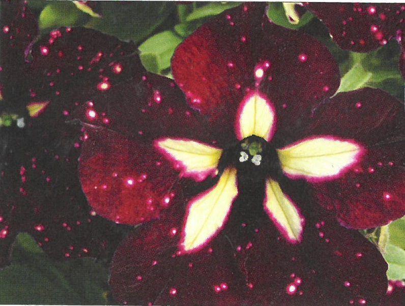 1- Starry Sky Petunia.jpg