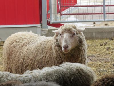 Sheep at Gale Woods Farm