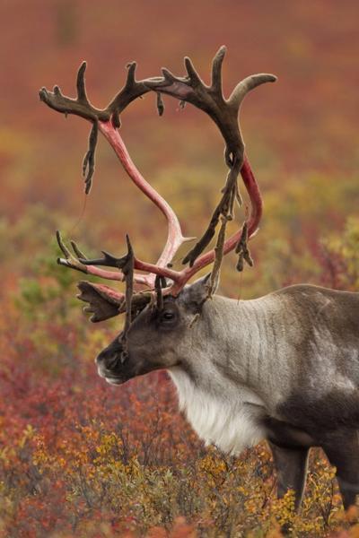 Tracking Caribou On Alaskan Tundra Shakopee Opinion Swnewsmedia Com