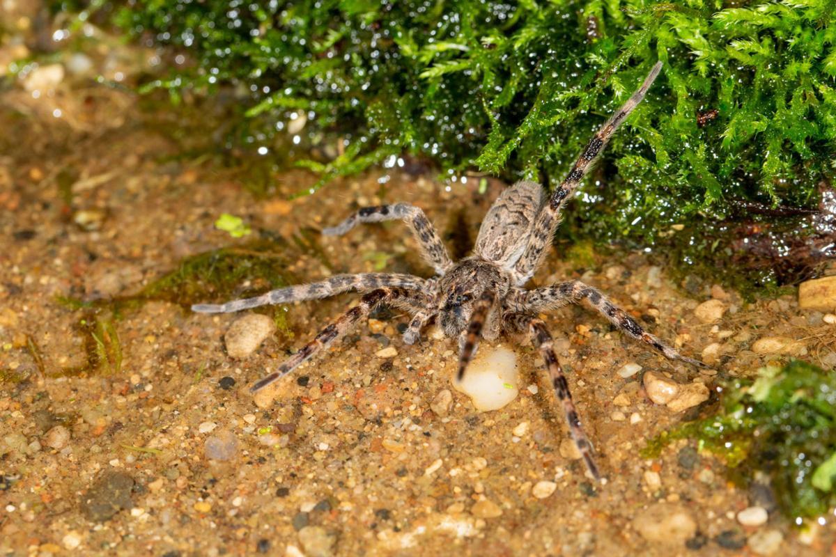Tekiela Fishing Spiders Live Up To Name Around U S Swnewsmedia Com