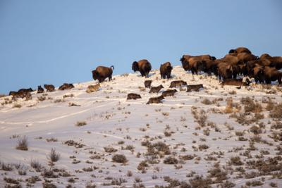 Wolves with bison