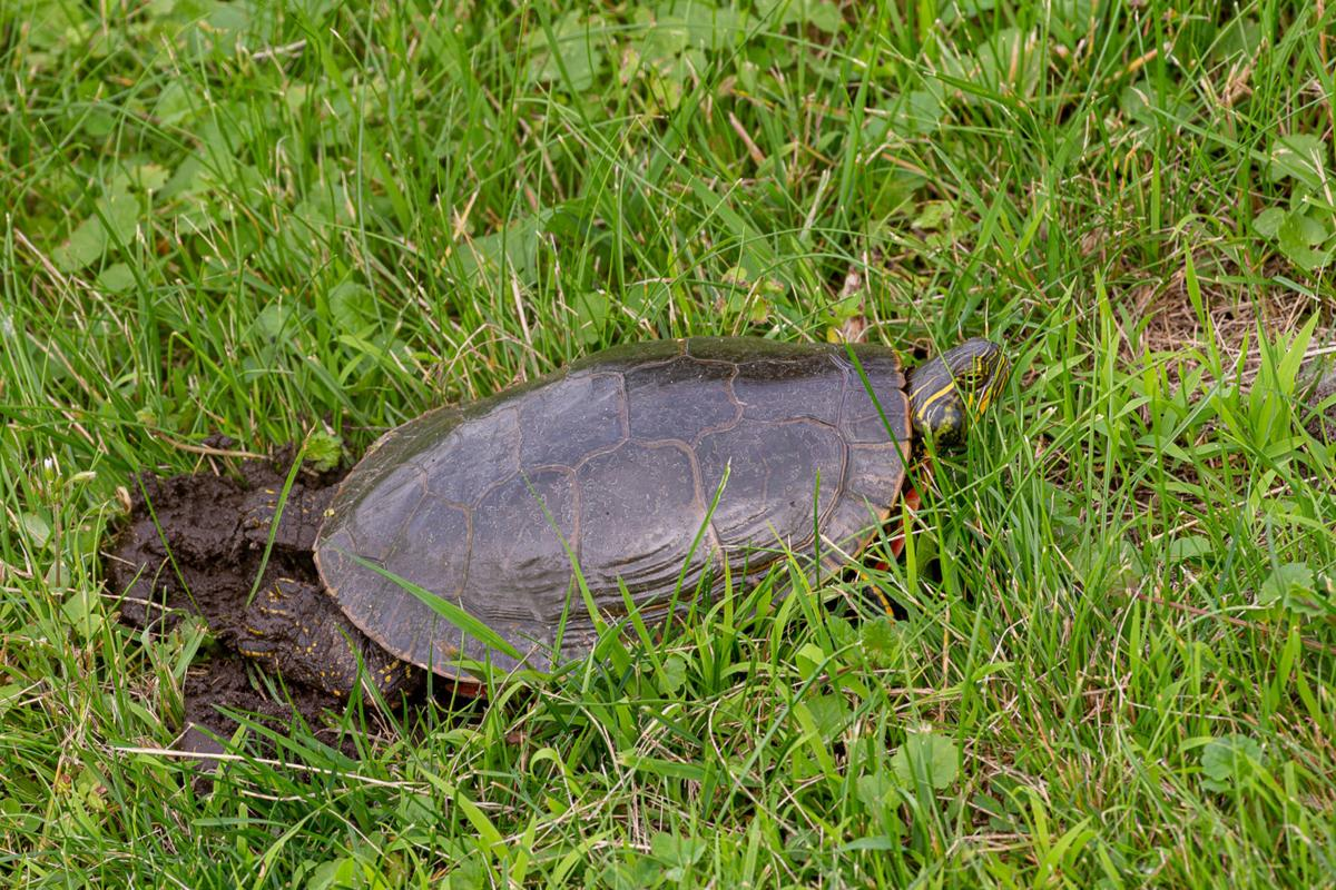 Outdoors Why Did The Turtle Cross The Road Copy Chanhassen Opinion Swnewsmedia Com