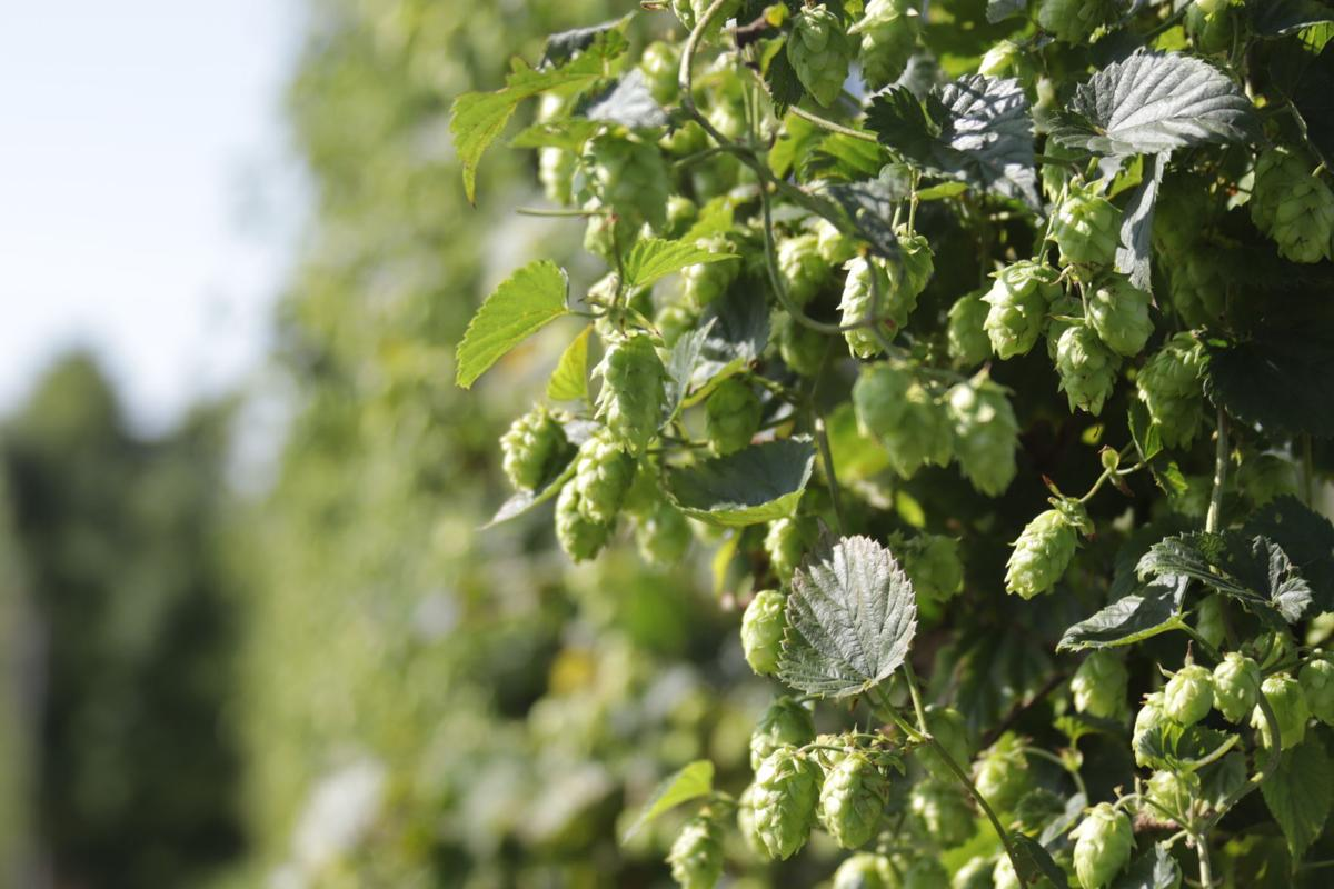 Fresh hops growing at Giant's Harp