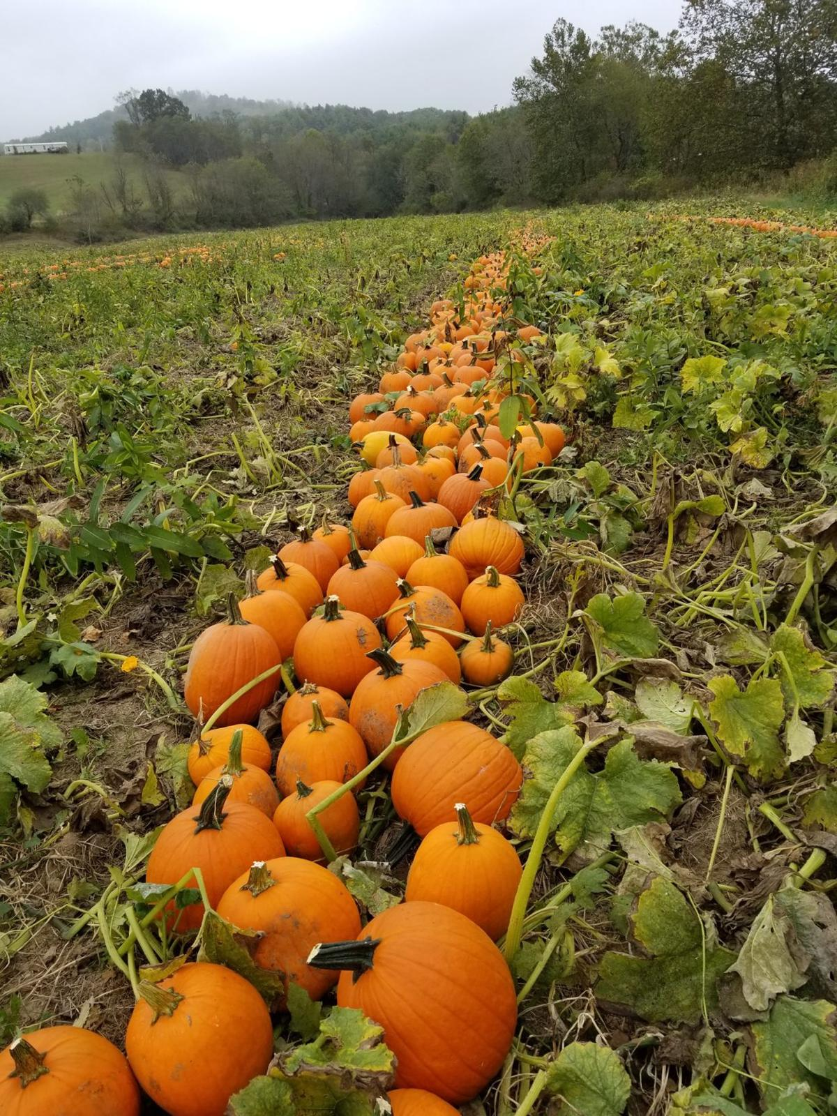 Pumpkin Growers Ready For Season Despite Months Of Drought Latest Headlines Swvatoday Com