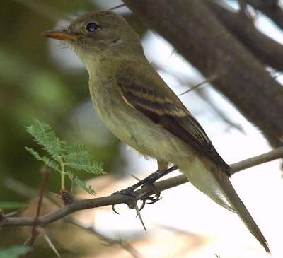 southwestern willow flycatcher.jpg