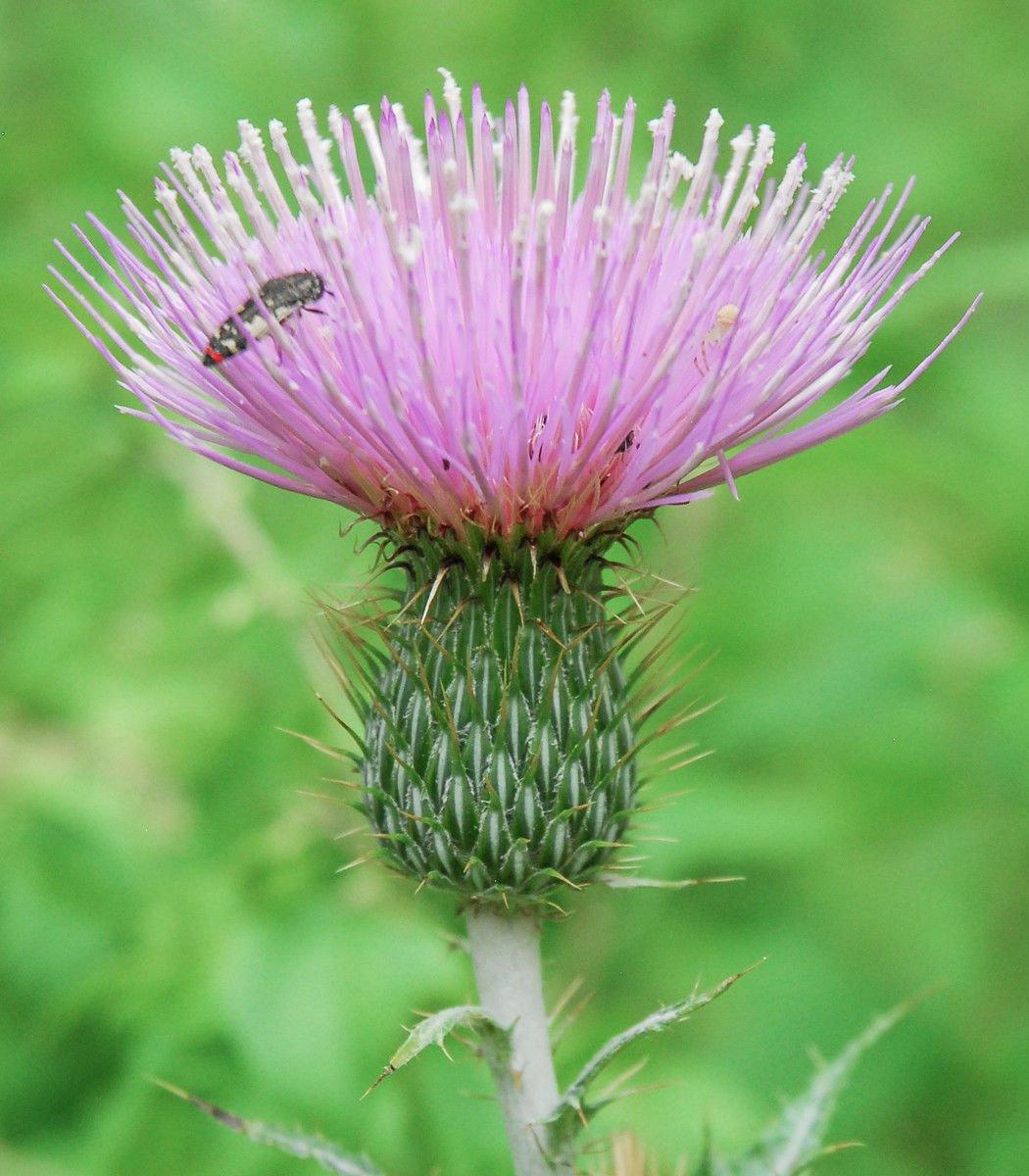 Thistles - prickly weed or precious resource? | La Vida | taosnews.com