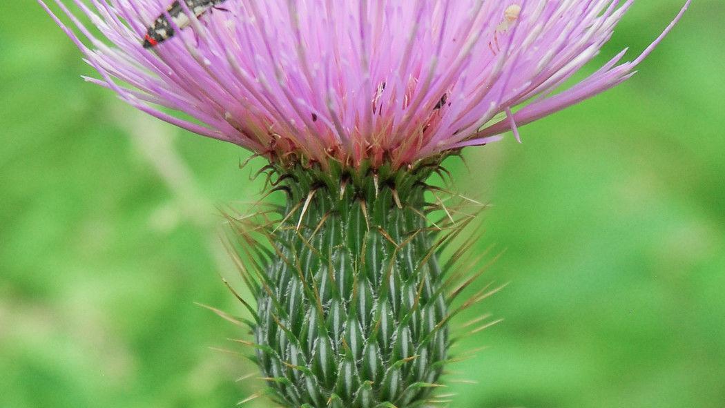 Thistles - prickly weed or precious resource? | La Vida ...