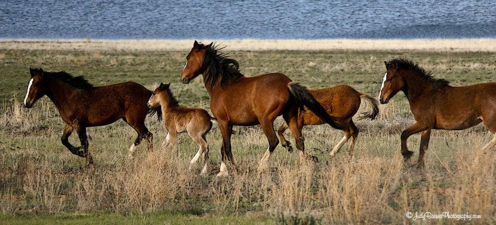 Mustangs on Wild Horse Mesa carry centuries-old genes