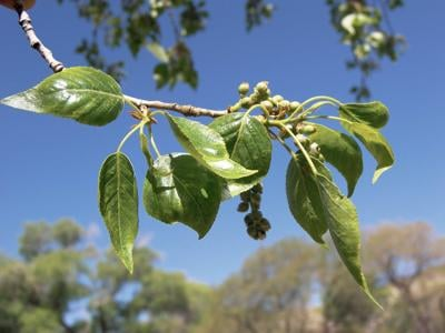 A pain-relieving salve from Cottonwood buds