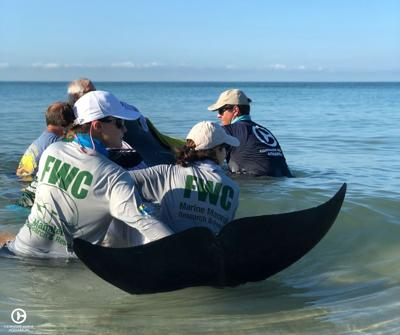 Agencies strive to rescue whales