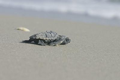 Treasure Islands seeks to strengthen nesting turtle ordinance