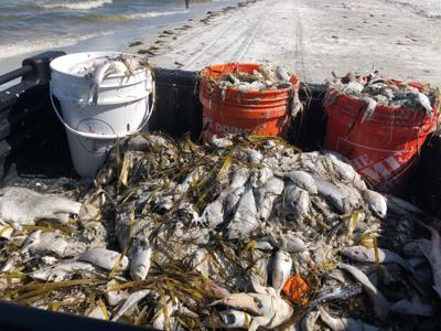 Pinellas begins red tide cleanup on local beaches