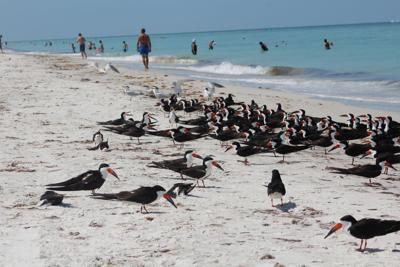 Skimmers find home in Indian Rocks Beach