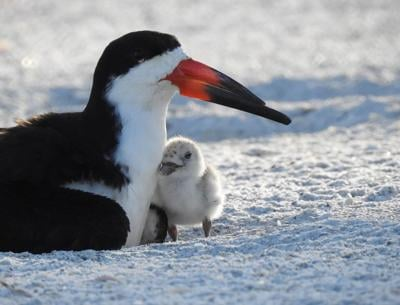 Keep an eye out for black skimmers on Pinellas beaches