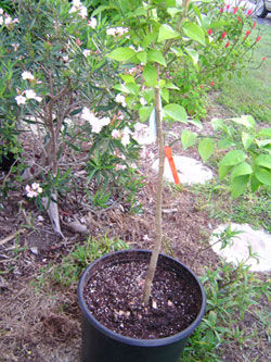 Small gardens can include citrus trees