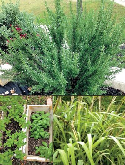 Great gardening in Central Texas: Repel mosquitoes the