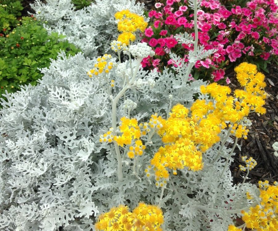 Dusty Miller Cirrus Annual Seeds