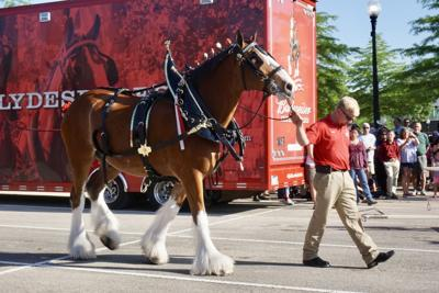 Hundreds turn out to see Clydesdales
