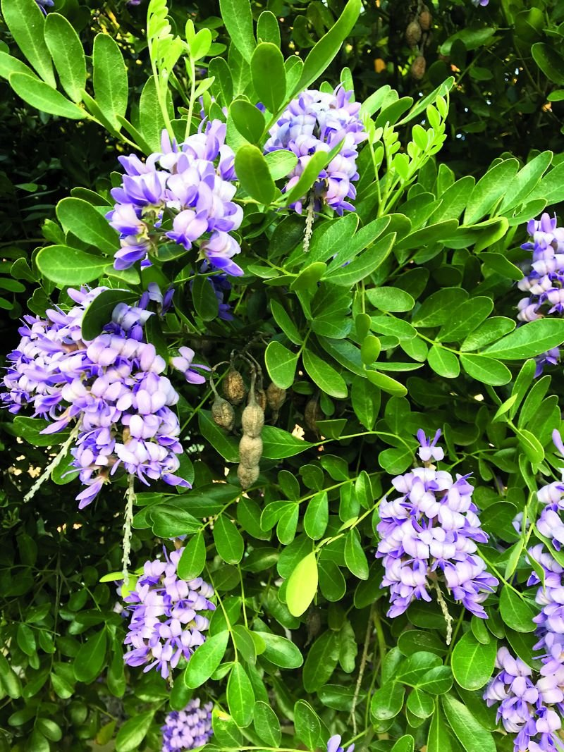 Great Gardening Central Texas Hardy Texas Mountain Laurel Is A