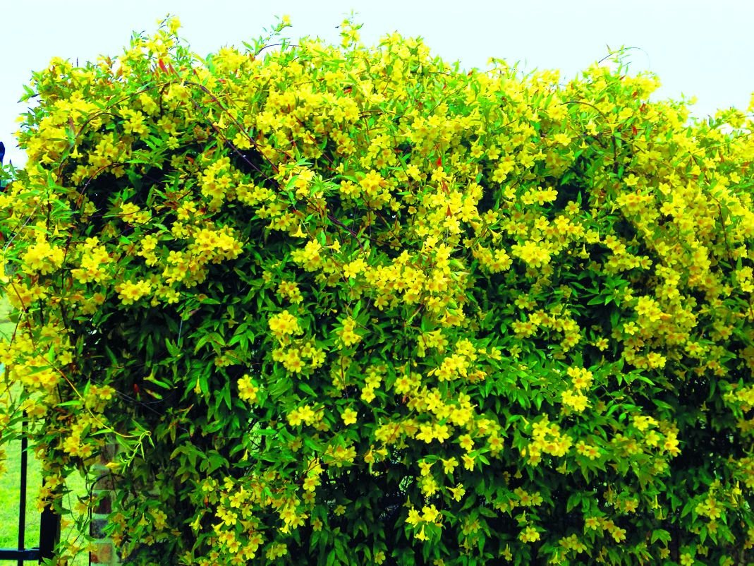 Flowering vine first sign spring is near life tdtnews flowering vine first sign spring is near mightylinksfo
