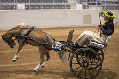 Miniature horses loom large at area event