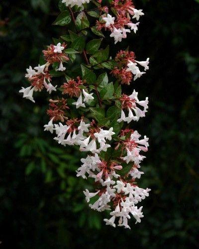 Sprinkled With Fairy Dust Glossy Abelia May Be Underused In