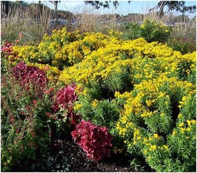 Great Gardening Mexican Mint Marigold Can Be An Asset To Your