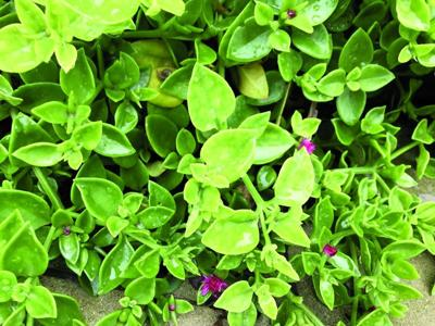 Great Gardening - Central Texas: Ice plants are beautiful ... on ant house plant, jade house plant, marijuana house plant, dolphin house plant, sword house plant, steel house plant, leaf house plant, avocado house plant, lazarus house plant, lemon house plant, banana house plant,
