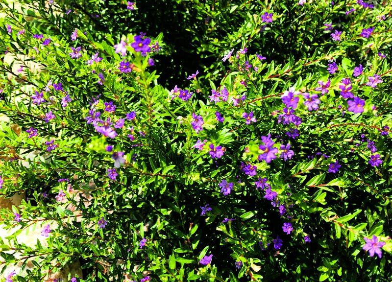 Great gardening: Highly adaptable Mexican Heather is good in heat | Life |  tdtnews.com