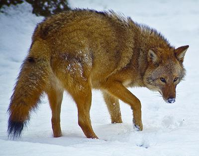 Separating fact and rumor regarding the 'coywolf' | Arts