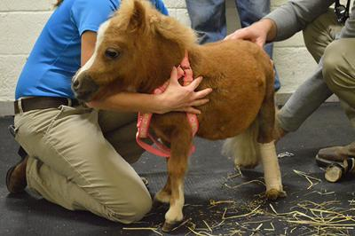 The Story Of Tinkerbell The Mini Horse With Dwarfism Arts