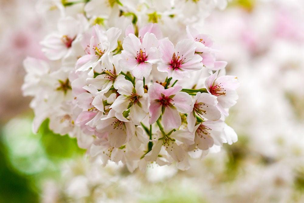 Blooms_CherryBlossomsClose_SC.jpg