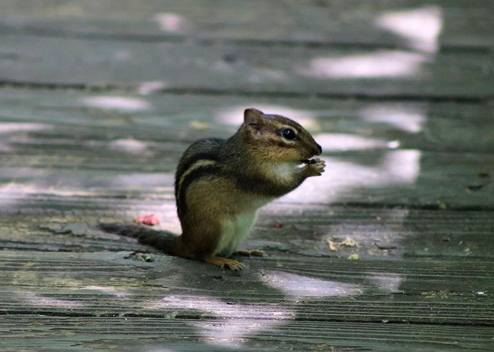 Chipmunk_nature_NF_web.jpg