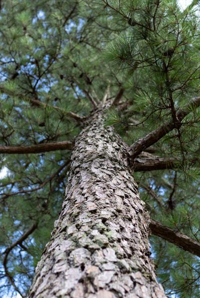 PineTree_Nature_RF_web.jpg