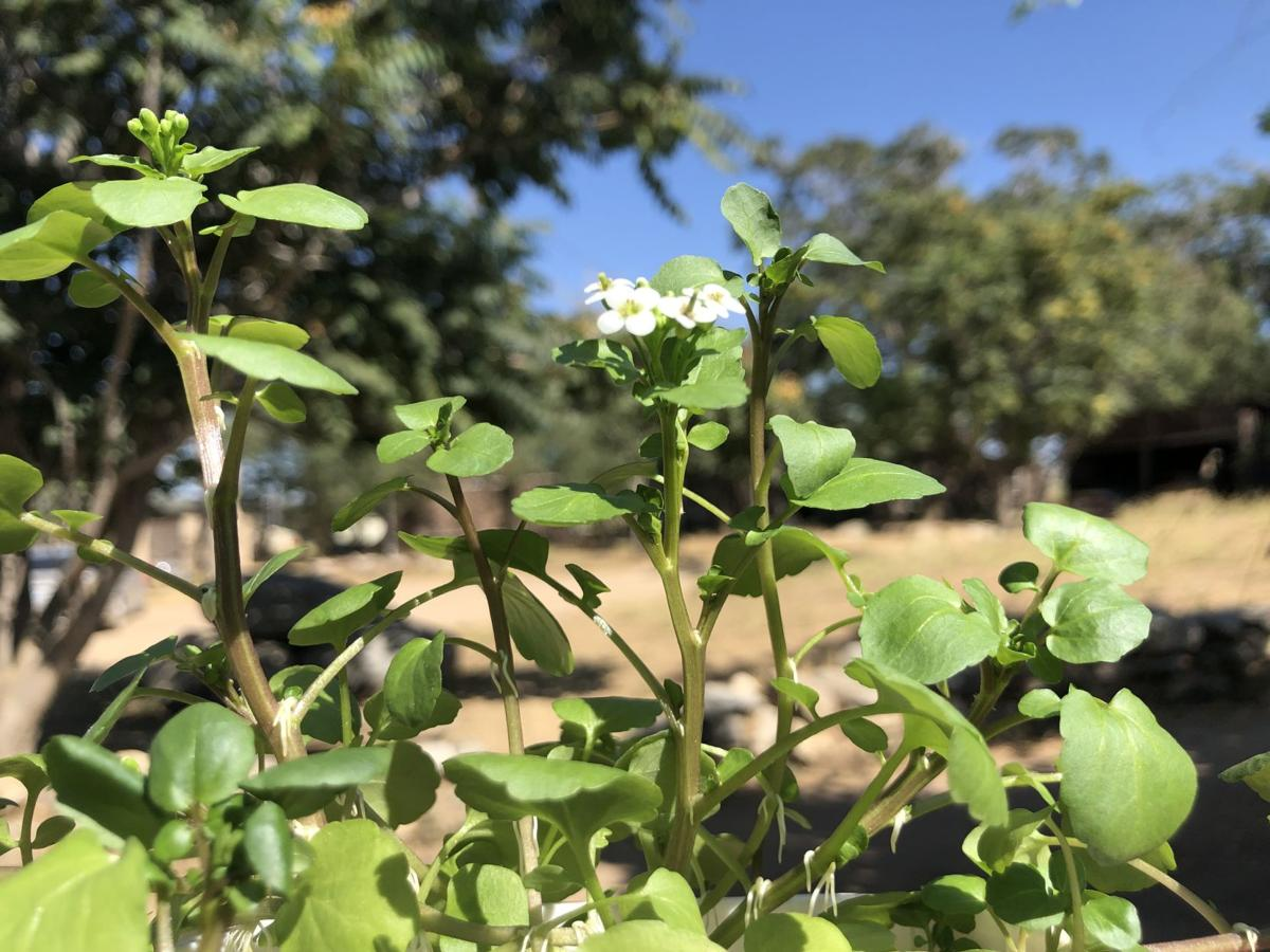Pen in Hand #1520 - Watercress 2.jpg