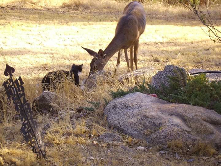 Natural Sightings 535 - Cat and Deer 2.jpg