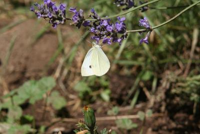 Natural Sightings #596 - Cabbage White Butterfly.jpg