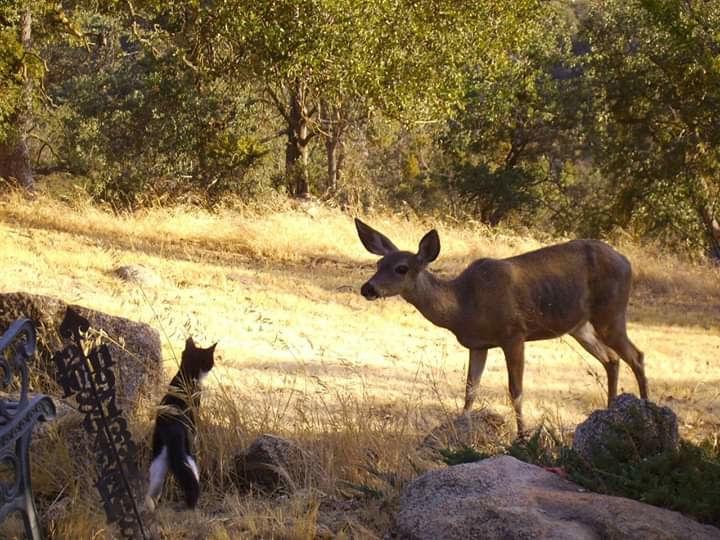 Natural Sightings 535 - Cat and Deer 1.jpg