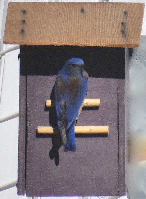 Natural Sightings #620 - Western Bluebird 2.jpeg