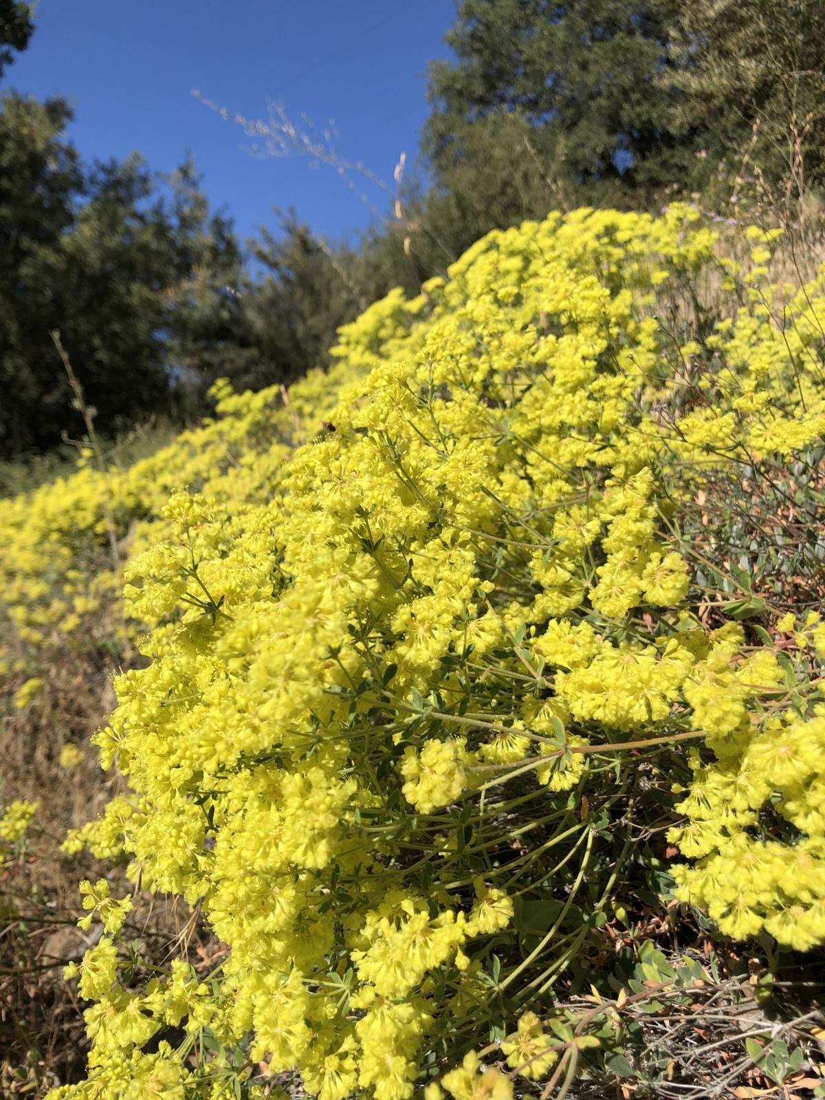 Pen in Hand #1523 - Sulfur Flower Buckwheat 1.jpg