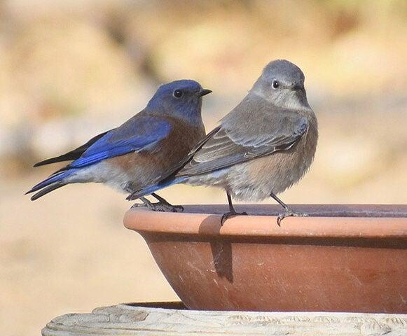 Natural Sightings #620 - Western Bluebird 1.jpeg