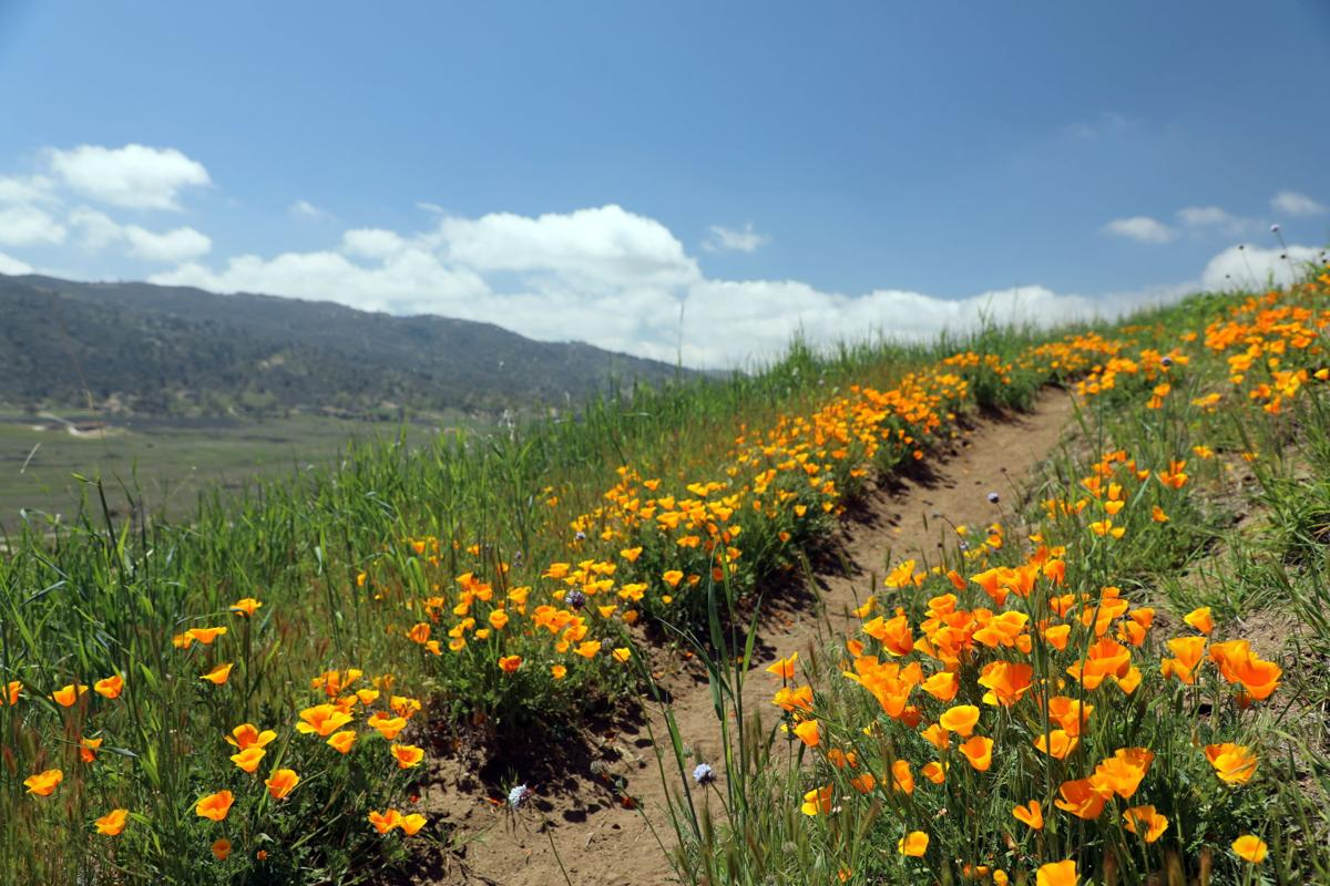Pen in Hand: California Poppies are everywhere — at least in the Tehachapi Mountains
